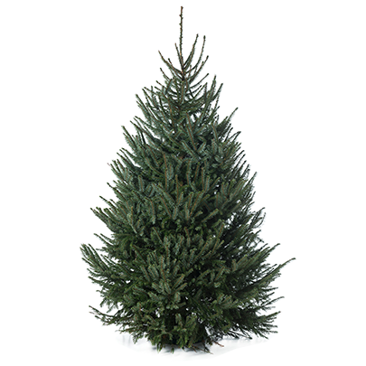 How Are Christmas Trees Grown